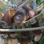 Un orang-outan sympatique
